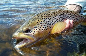 White River Trout Fishing Reports - Trout Fishing Arkansas - Fly Fishing Trout Arkansas